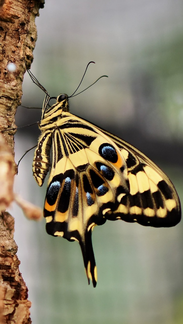 Picture of a tiger swallowtail.