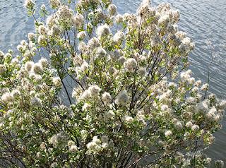 Baccharis halimifolia, arbusto