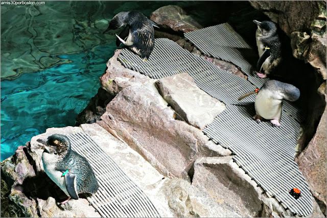 Pingüinos Azules en el Acuario de Boston