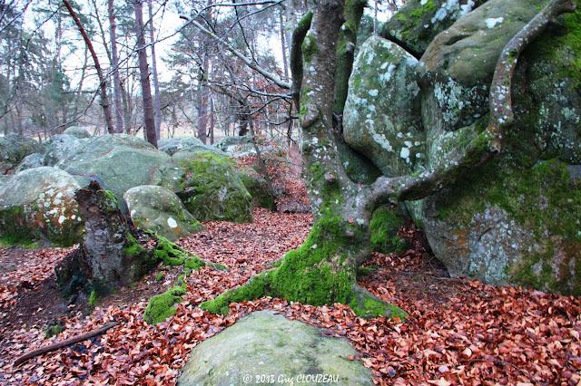 Hêtre remarquable du Rocher Canon, Fontainebleau, 2013, (C) Greg Clouzeau