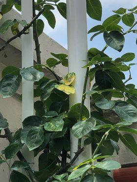 cây hoa hồng bị vàng lá