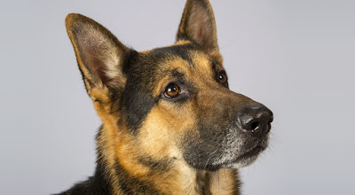 German Shepherd Dog breed personality