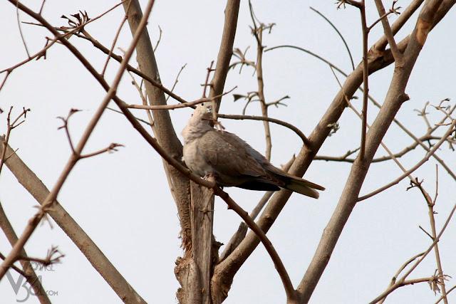 Red Collared-Dove(20-25 cm) - Davangere