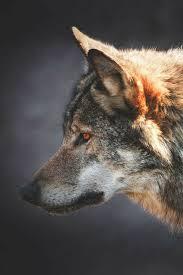 رمزيات ذئب 2018