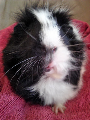 Black and white #guineapig on a pink towel looking at camera