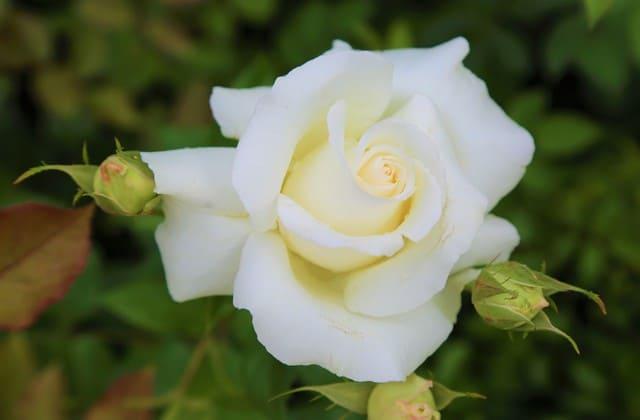 gambar setangkan mawar putih