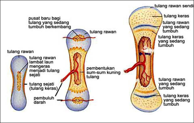 Proses Pembentukan Tulang
