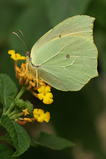 Gonepteryx rhamni - Papillon Citron