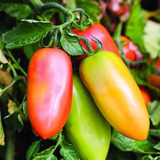 Tomat Unik