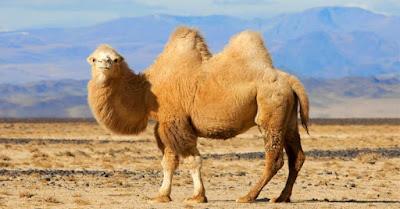 Khám phá tác dụng thực sự của chiếc bướu lạc đà