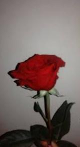 Gambar bunga mawar besar