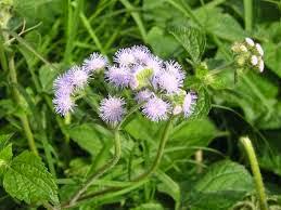 bài thuốc đông y chữa bệnh viêm họng hạt
