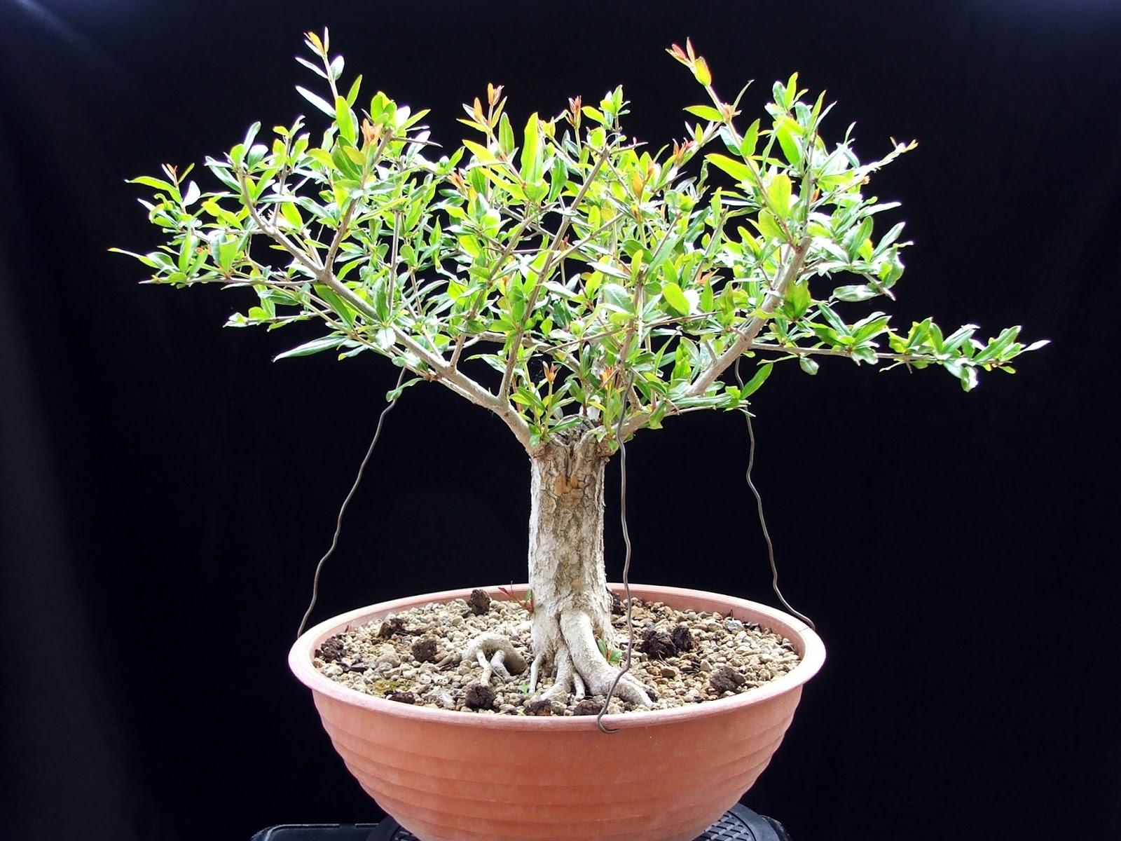 Evoluzione Bonsai Bonsai Di Melograno Punica Granatum Pomegranate