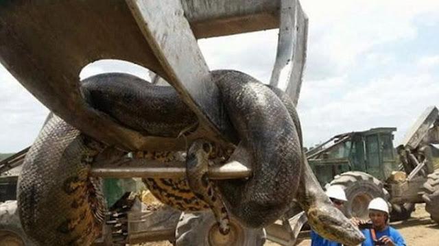 Pekerja Konstruksi Temukan Ular Anaconda Berbobot 400 Kg