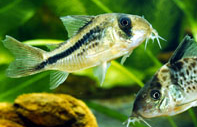 Jenis Ikan Corydoras axelrodi