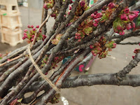 Freshly in: whole branches of spring blossom