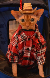Disco NoFurNo Sphynx cat in Plaid Shirt