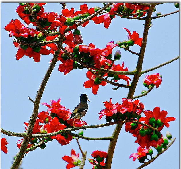 South Asian Spring Flower Shimul