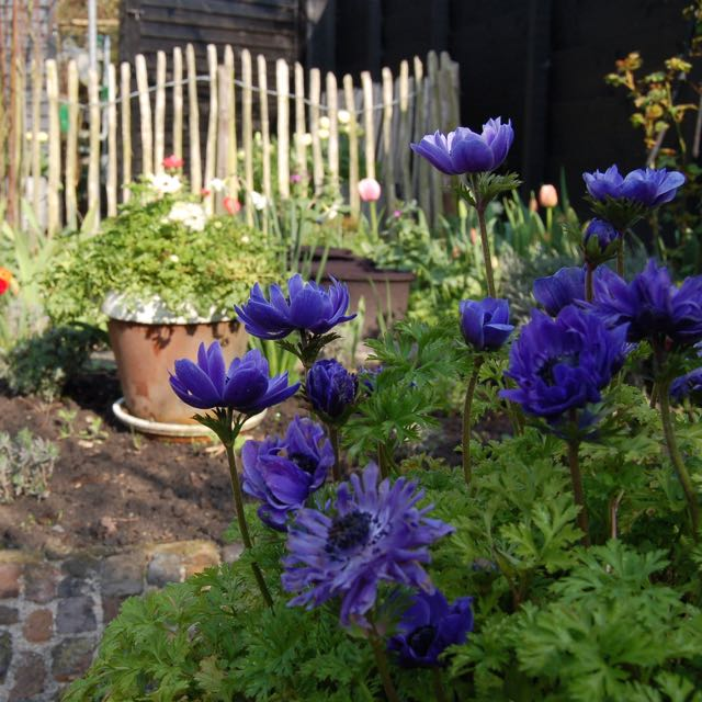 Spring garden, blue anemone and tulips.