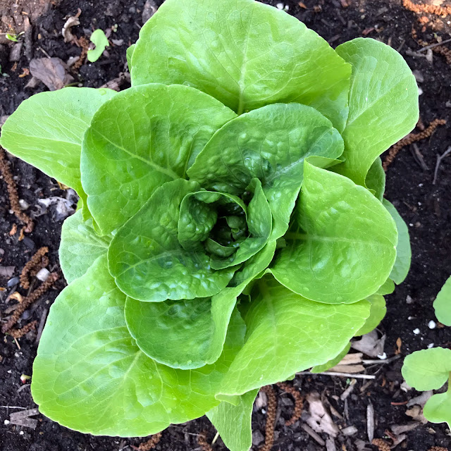 mandalas in nature, lettuce, garden, Anne Butera, My Giant Strawberry