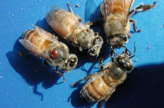 Ένας εύκολος τρόπος για να ελέγχουμε τη Βαρρόα των μελισσιών μας!