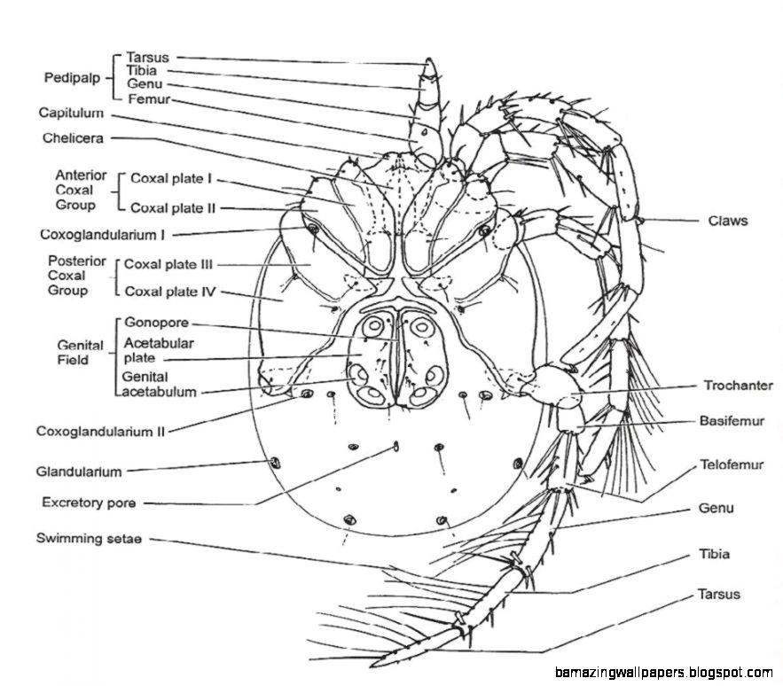 Arachnids Diagram | Amazing Wallpapers