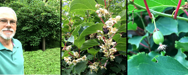 Crazy kiwi bush blossoms and produces fruit after a six year wait at St Francis Cottage.
