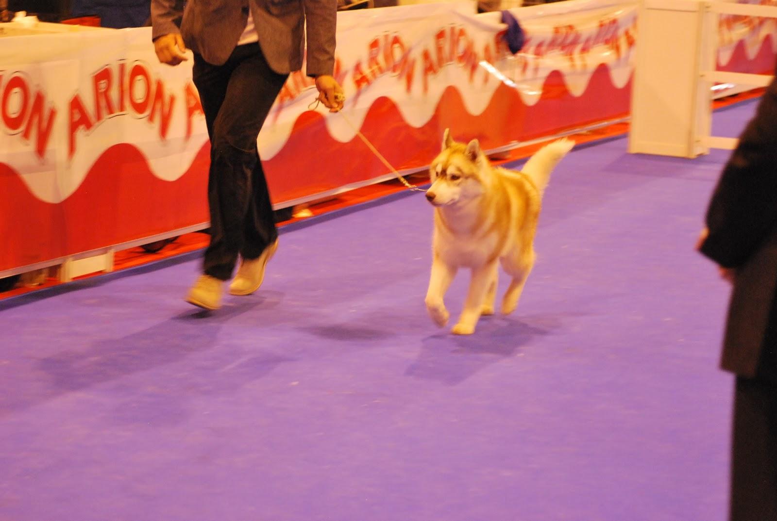 Mejor de Raza Jovenes Husky Siberiano Exposicion Canina Madrid 2013 Ethan Hunt de Os Abruñeiros