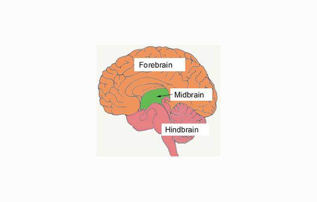 Pengertian, Struktur dan Fungsi Otak tengah (Midbrain)