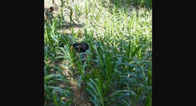 Serda Paulus Tarigan Bersama Petani Lakukan Perawatan Tanaman Jagung di Desa Bengkurung