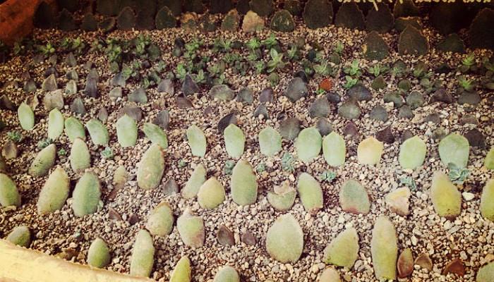 Plantar semillas de suculentas