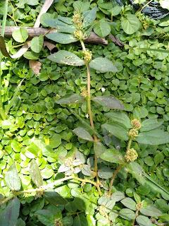 tanaman penyembuh snot paling ampuh