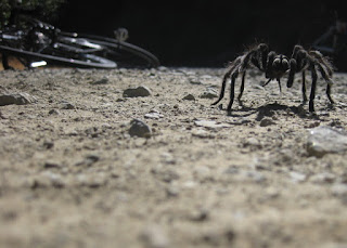 California tarantula walking past my bicycle on Alma Bridge Road, Los Gatos, California