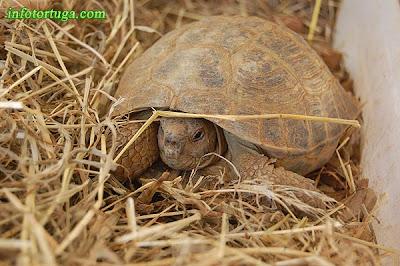 Macho de tortuga rusa saliendo de la hibernación