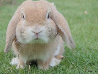 A cream holland lop rabbit sitting on grass