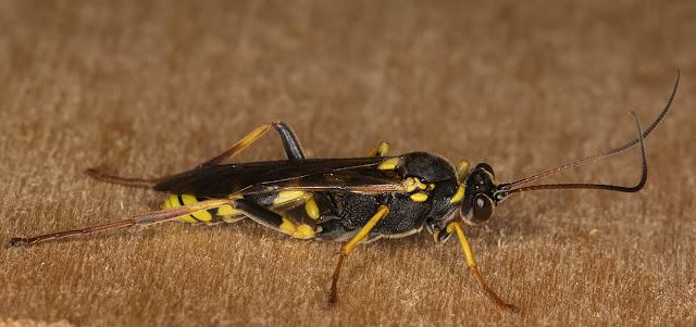 Wasp.  Hayes light trap, 21 July 2015.