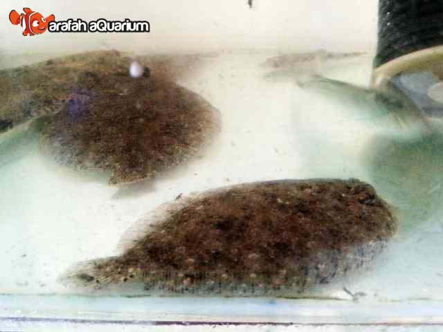 Arafah Aquarium Jual Ikan Hias Air Payau Kerapu Mas Lion Fish Barracuda Dll