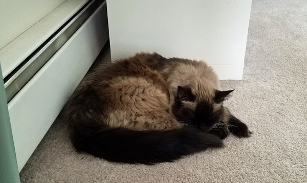 image of Matilda the Fuzzy Sealpoint Cat curled up asleep under my desk
