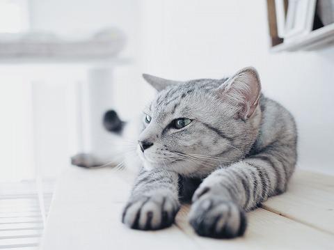 両手をのばしてぼーっとしているサバトラ猫