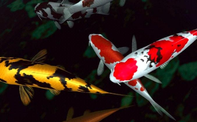Ikan Koi Tidak Mau Makan Apa Yang Harus Kulakukan Superperikanan