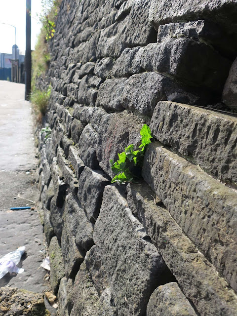 Dandelion growing between black stones of wall in Halifax, UK