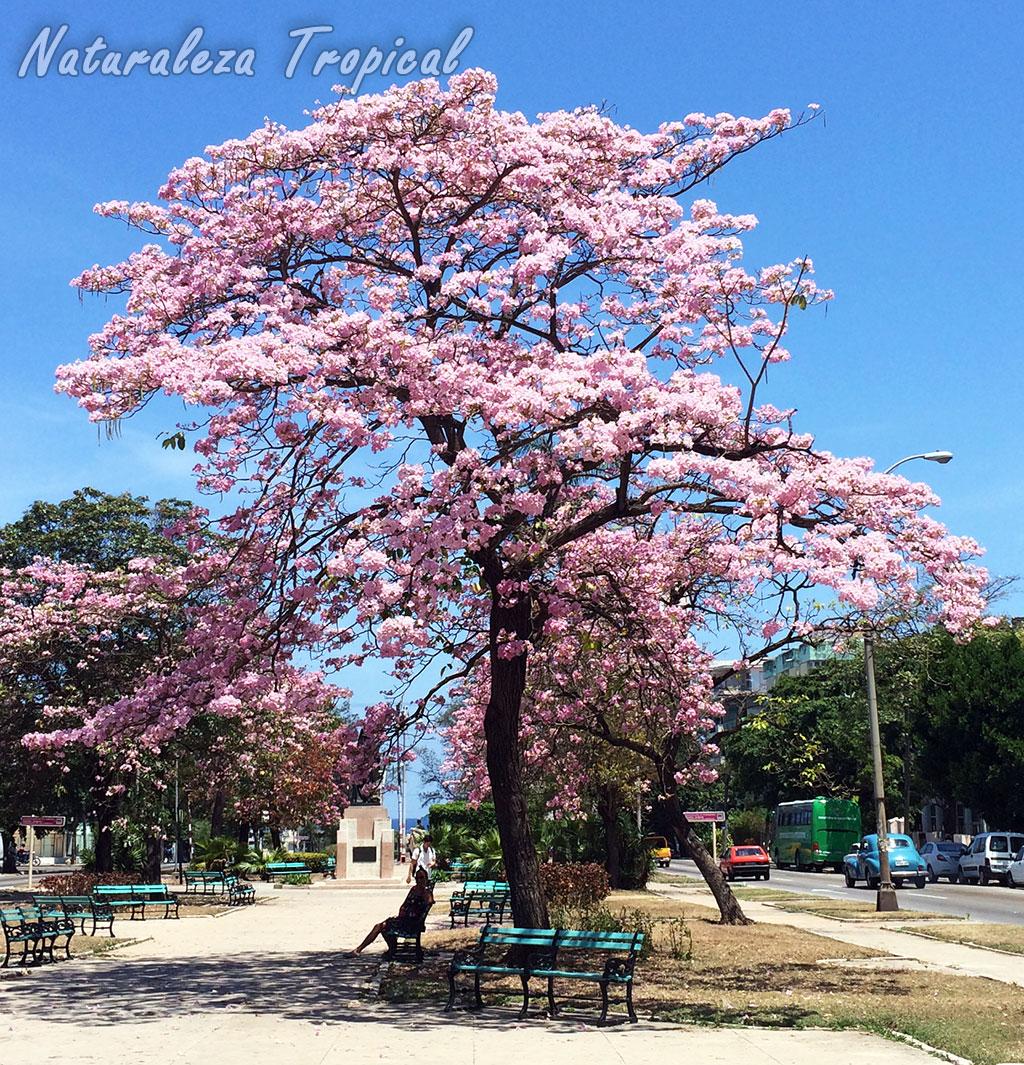 Naturaleza tropical el rbol primavera g nero tabebuia for Arboles de jardin fotos