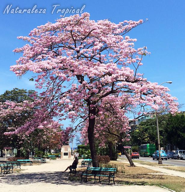 Los Árboles Primavera, plantas del género Tabebuia