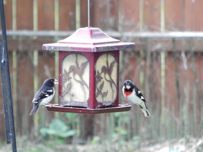 2 red breast grosbeaks