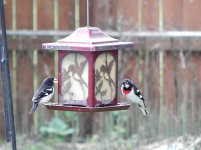 2 red breast grosbeaks