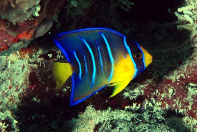 Dunia Ikan Hias - Angelfish
