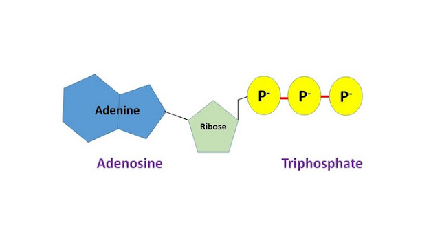 adenosine triphosphate skin care ingredient