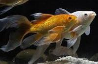 jenis ikan koki Comet goldfish perenang yag cepat