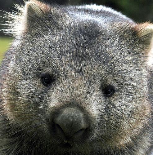 Baby Wombat: The Life Of Animals