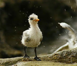 Lesser crested tern (Thalasseus bengalensis) chick